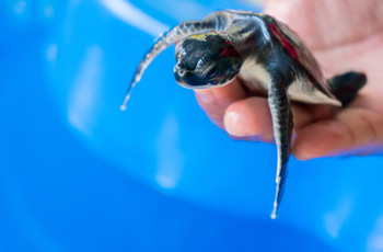 Sea turtle hatchery & conservation project